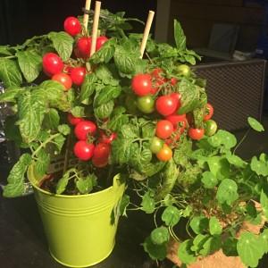 Tomatplante 2